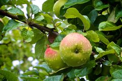 Two apples on wet tree. Apples on tree just after rain Royalty Free Stock Images