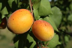 Two apricots on tree Stock Images