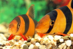 Two aquarian small fishes Botia macracantha Stock Photography