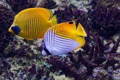 Two aquarium fish Stock Images