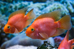 Two aquarium fish. Red parrot in a profile Royalty Free Stock Images