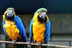 Two Ara Ararauna in zoo stock images