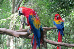 Two Ara Parrots royalty free stock image