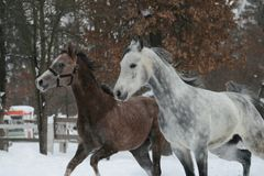 Two Arab horses run in the paddock royalty free stock photography