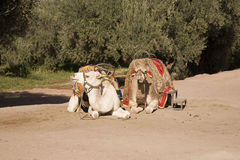Two Arabian camels on sand Royalty Free Stock Image