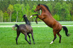 Two  Arabian horse. Faith of two arabians stallions on the pasture Royalty Free Stock Photos