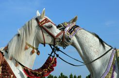 Two arabian horse head to head. Pair Arabian Horse. Two mares head to head, sniffing at each other Royalty Free Stock Photography