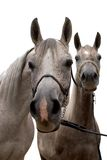 Two arabian horse isolated Stock Photo