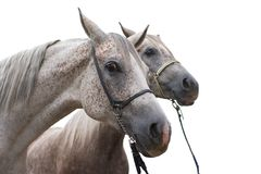 Two arabian horse isolated Stock Images