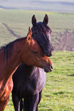 Two Arabian horses. On a green summer meadow Royalty Free Stock Photo