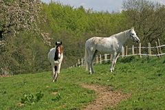 Two Arabian horses in Germany Royalty Free Stock Photography