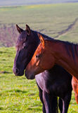 Two Arabian horses. On a green summer meadow Royalty Free Stock Image