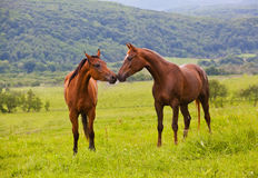 Two Arabian horses. On a green summer meadow Royalty Free Stock Images