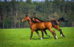 Two arabian horses. On the pasture Royalty Free Stock Images