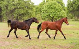 Two Arabian horses running and playing. In spring pasture Royalty Free Stock Photos