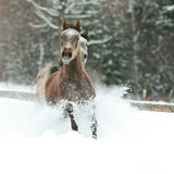 Two arabian horses running together in the snow royalty free stock photography