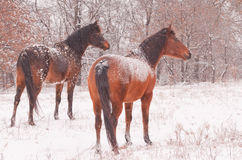 Two Arabian horses in a snowstorm looking away Royalty Free Stock Image