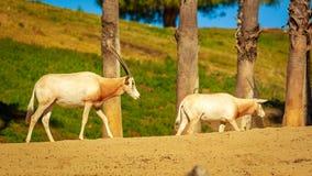 Arabian Oryx. Two Arabian Oryx antelopes walk across the land Stock Image