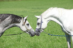 Two arabian stallions with show halters. Sniffing to each other Stock Photo