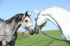Two arabian stallions with show halters. Sniffing to each other Royalty Free Stock Photography