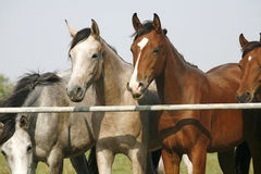 Two arabian youngster looking over corral gate at summertime Royalty Free Stock Photo