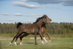 Free Two Arabians Run On Sunset Meadow Stock Photography - 40533792