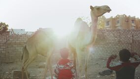 Two Arabic children play with camels in the yard in Dahab, slow motion, Egypt, Sinai, 4k