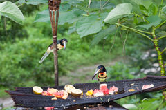 Two Aracari Toucans. Aracari toucans looking over offerings of fresh fruit at a jungle resort in Belize Stock Image