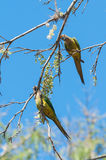 Two Aratinga birds clinging to a branch with some flowers. Stock Image