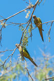 Two Aratinga birds clinging to a branch with some flowers. Stock Images