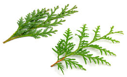 Two arborvitae leaves on a white background.  Stock Photography