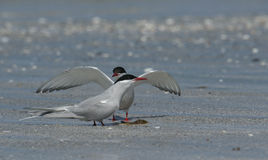 Two Arctic Tern, Sterna paradisaea, displaying to each other, part of courtship behaviour. Royalty Free Stock Images