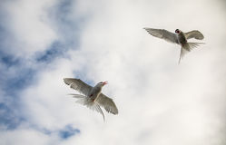 Two arctic terns, Sterna Paradisaea, in the air on Svalbard Stock Photos
