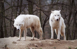 Two Arctic Wolves Stock Images