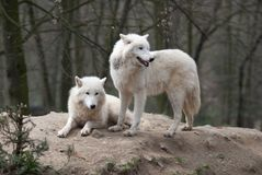 Two Arctic Wolves Stock Photos