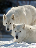 Two arctic wolves Royalty Free Stock Photos