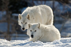 Two arctic wolves Royalty Free Stock Photography