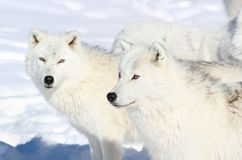 Two arctics wolves. In nature during winter stock image