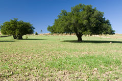 Two Argan trees Royalty Free Stock Image