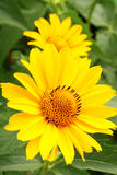 Two arnica flowers in the garden Royalty Free Stock Photography