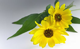 Two Arnica herbal blossoms Royalty Free Stock Photos