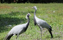Two ash cranes Royalty Free Stock Photos