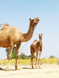 Two Asian Camels Stock Photography