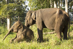 Two Asian elephant Stock Images