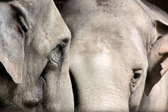 Two asian elephants Royalty Free Stock Photos