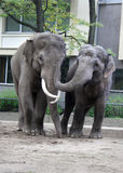Two asian elephants hugging Stock Image