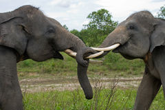 Two Asian elephants playing with each other. Indonesia. Sumatra. Way Kambas National Park. Stock Photos