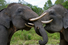 Two Asian elephants playing with each other. Indonesia. Sumatra. Way Kambas National Park. royalty free stock photos