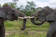 Two Asian elephants playing with each other. Indonesia. Sumatra. Way Kambas National Park. royalty free stock images
