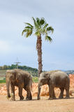 Two asian elephants in a zoo Royalty Free Stock Photography